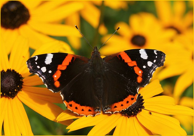 Red Admiral on Rudbeckias