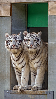 Two tigresses at the door
