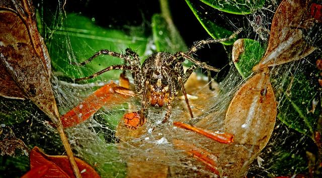 Tigenaria domestica  -  Funnel Weaver spider