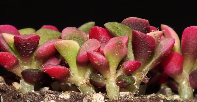 Sunrise sand rose (Anacampseros rufescens) seedlings