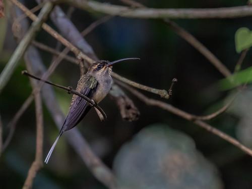 Eastern Long-tailed Hermit/Rabo-branco-de-bigodes/Ermitaño colilargo (Phaethornis superciliosus)