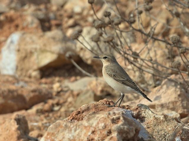 Northern wheatear (female)