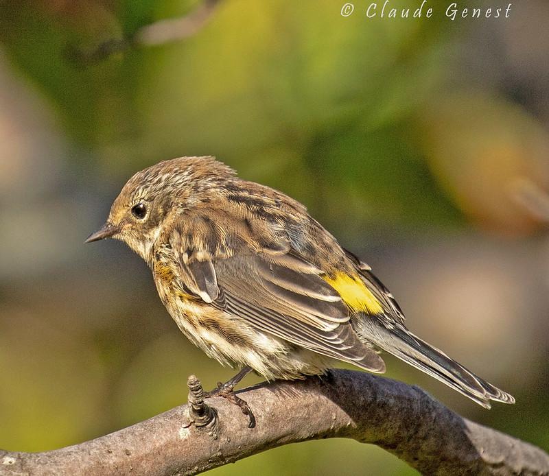 Paruline à croupion jaune ( plumage hivernal) 48756526078_99457974ea_c