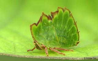 Treehopper, Cymbomorpha sp.