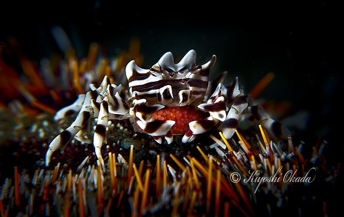 Zebra urchin crab with eggs