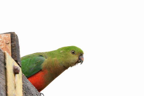 King parrot | by redeye64