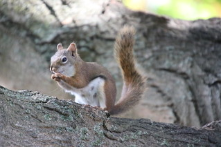 99/366/4116 (September 18, 2019) - Red Squirrel at the University of Michigan - September 18th, 2019 (yep - a red squirrel)!