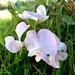 White-Pink Flower
