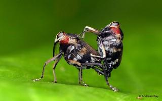Weevils, Hoplocopturus sp.