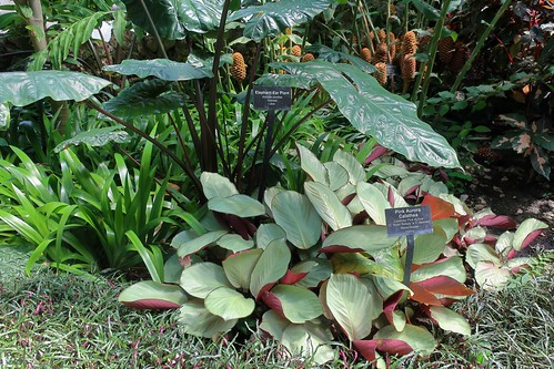 190907 038 Lincoln Park Chicago - Conservatory, Palm House, Alocasia plumbea Metallic Taro, Calathea 'Pink Aurora', Hemigraphis repanda Dragon's Tongue | by cultivar413