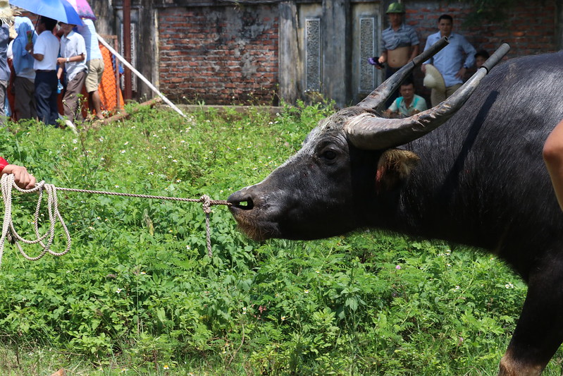 20190907 Do Son buffalo fighting festival (6)