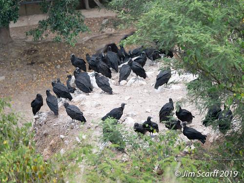blackvultures raptors jaen peru