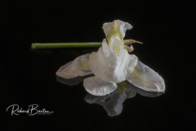 White iris on black lacquer - max tilt