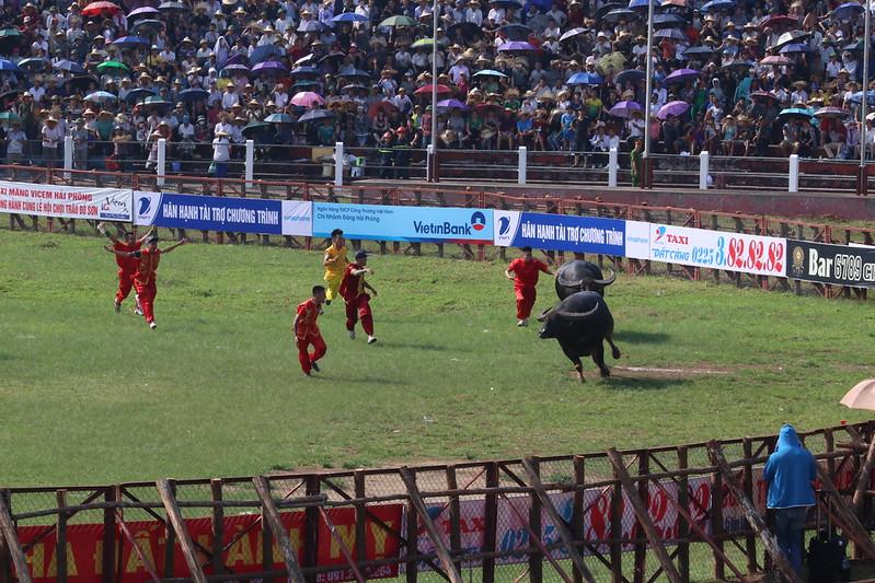 20190907 Do Son buffalo fighting festival (8)