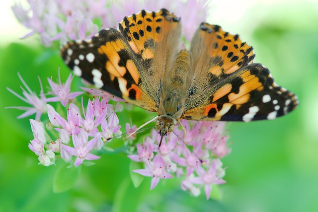 Painted Lady From Above