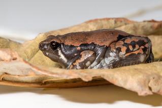 Rana Oveja, Hypopachus.variolosus, Sheep frog