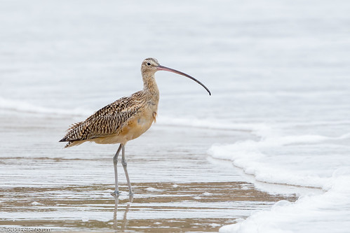 CA3I1655-Long-billed Curlew