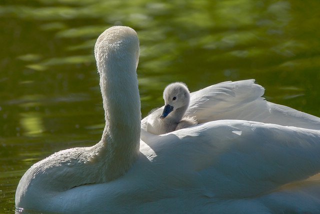 Mom and Junior swan (4/5)