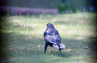 Russell - our resident crow