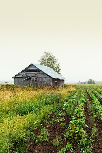 Old Barn Houses Under The Fog