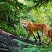 Red Fox Climbing Tree On A Rainy Day