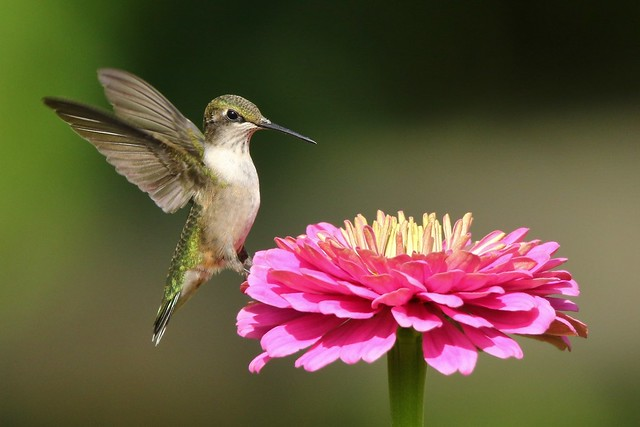 Another hummingbird before they are gone for the season
