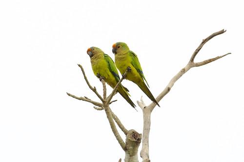 Peach-fronted Parakeet (Eupsittula aurea), Pouso Allegre, Mato Grosso, Brazil