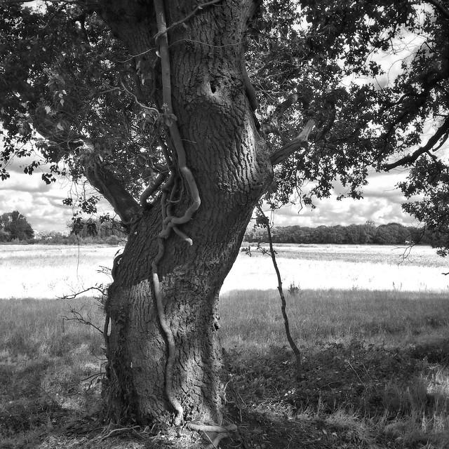 Old oak tree 🌳