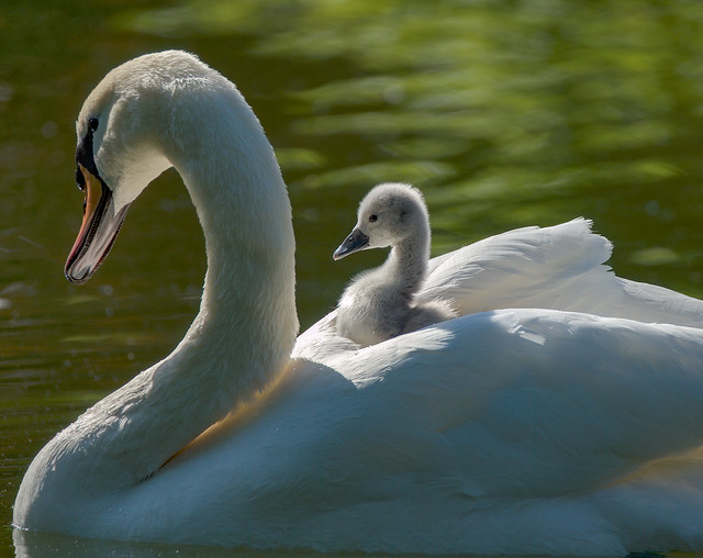 Mom and Junior swan (5/5)