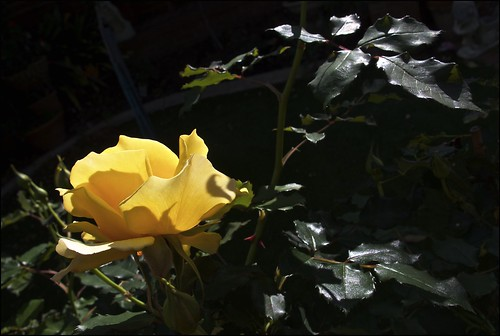 Yellow Rose and Leaves
