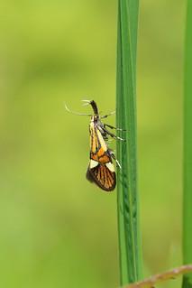 28.022 Alabonia geoffrella, Haugh Wood, Herefordshire