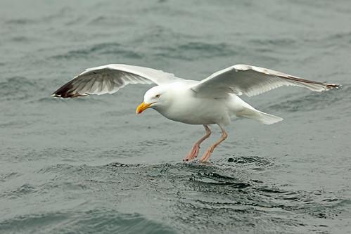 European Herring Gull, Loch na Keal, Isle of Mull