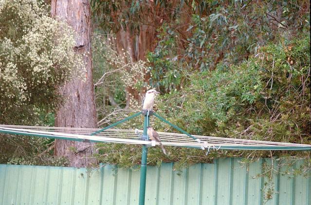 Kookaburra and Wattle bird