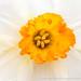Narcissus, 2.11.19