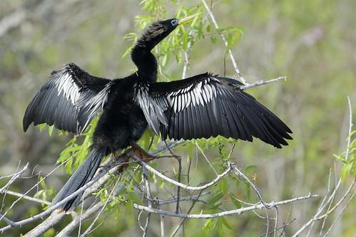 Anhinga (Anhinga anhinga), Wakodahatchee Wetland, Florida, United States