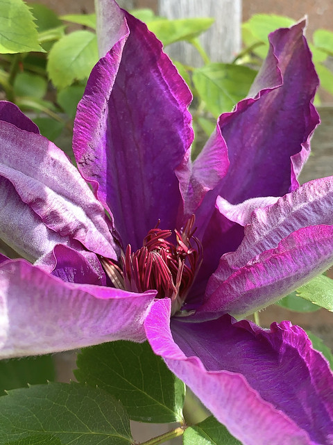 Clematis bloeit