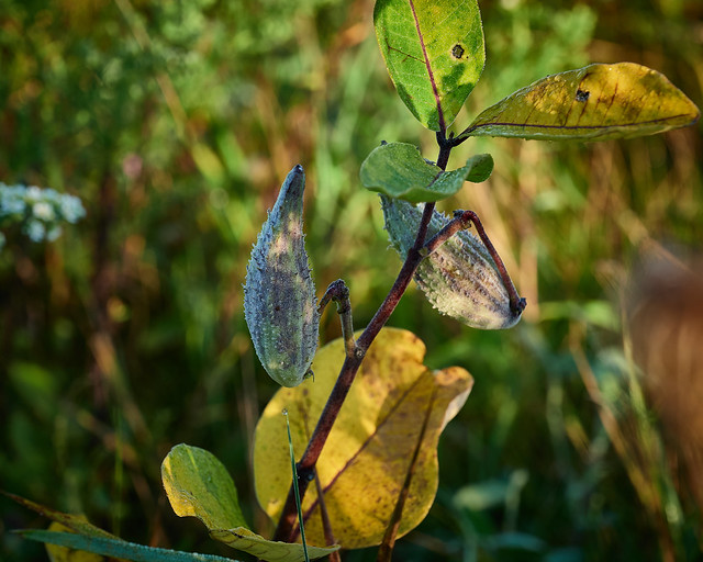 milkweed, early morning