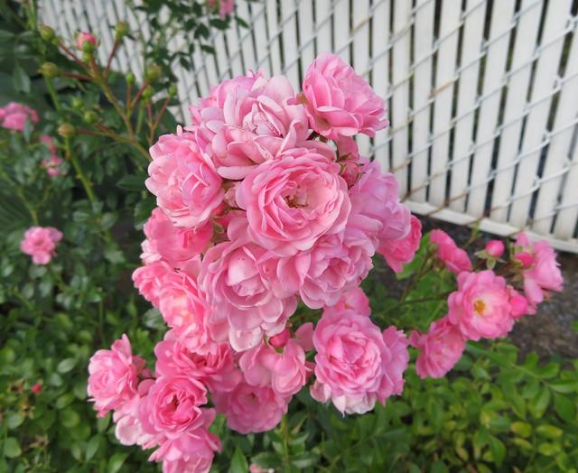 ** Petites roses de septembre **