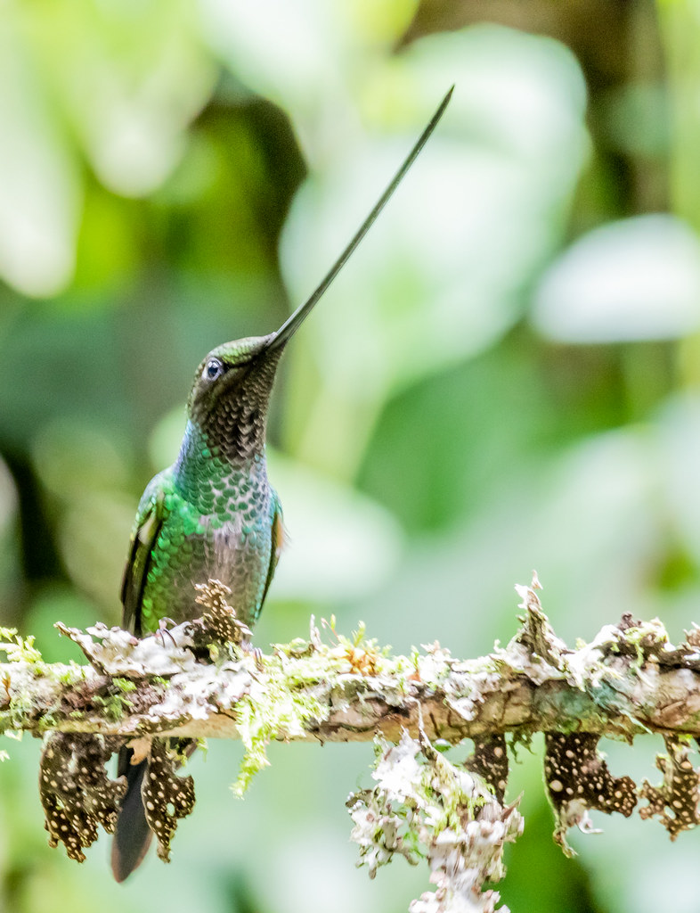 sword-billedhummingbird-4427