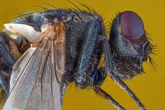 Fliege-179