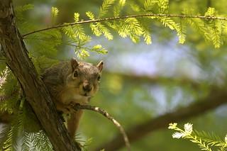 Squirrel, Morton Arboretum. 455 (EOS)