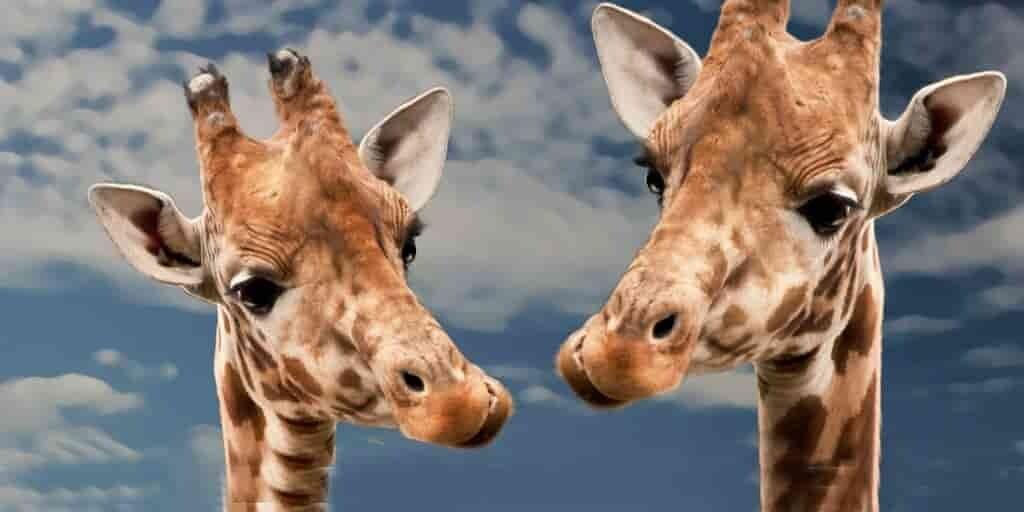 les-girafes-fredonnent-toute-la-journée
