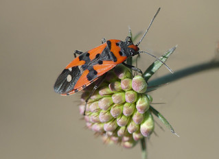 Black-and-Red-bug (Lygaeus equestris or L. simulans)