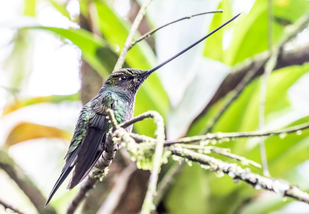 sword-billedhummingbird-4465