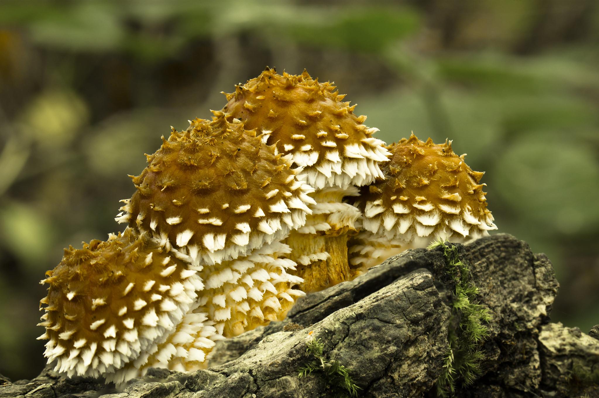 Golden Scalycaps
