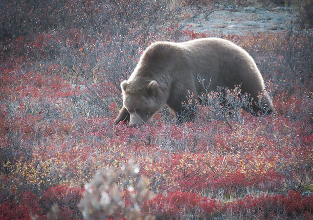 Brown Bear (Grizzly) Grazing for Berries