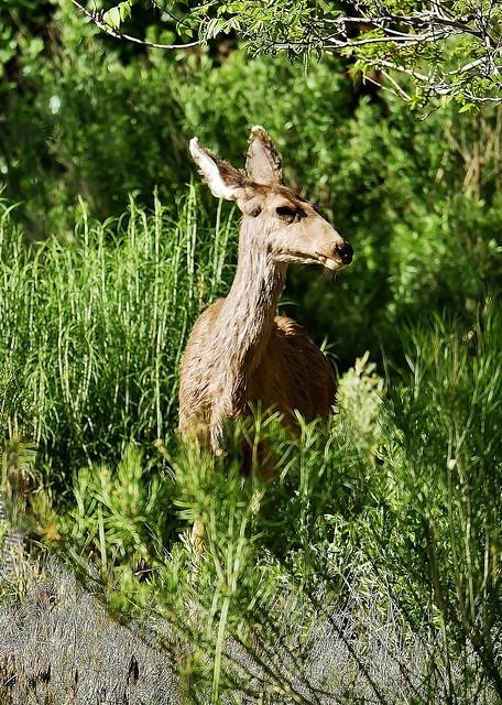 Female Mule Deer Browsing  (Odocoileus hemionus)