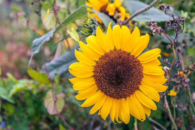 Large blooming sunflower between other wild plants