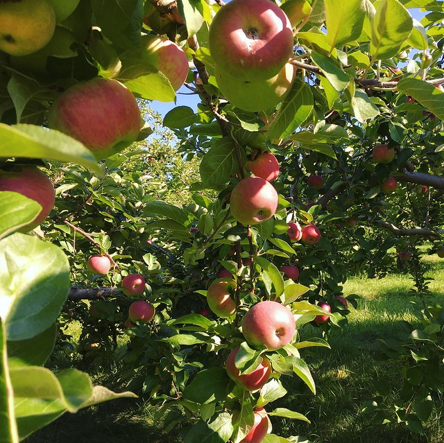Apple Picking at Poverty Lane