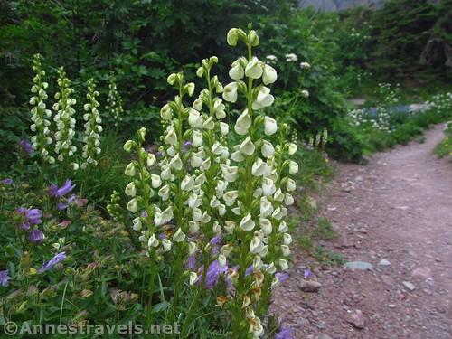 Coiled Lousewort Flowers along the Cracker Lake Trail, Glacier National Park, Montana